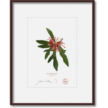 155 Firewheel Tree (Stenocarpus sinuatus) - 5″ × 7″ Print Ready to Frame With 8″ × 10″ Mat and Backing