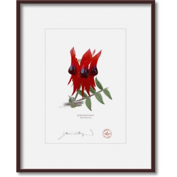 160 Sturt's Desert Pea (Swainsona formosa) - 5″ × 7″ Print Ready to Frame With 8″ × 10″ Mat and Backing