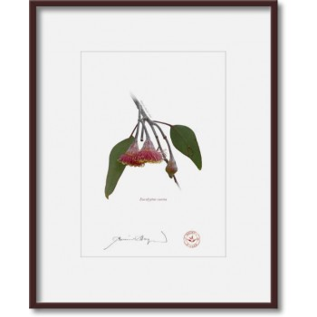 161 Eucalyptus caesia - 5″ × 7″ Print Ready to Frame With 8″ × 10″ Mat and Backing