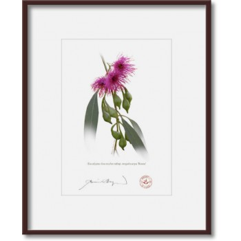 164 Eucalyptus leucoxylon subsp. megalocarpa 'Rosea' - 5″ × 7″ Print Ready to Frame With 8″ × 10″ Mat and Backing