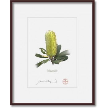 192 Coast Banksia Flower (Banksia integrifolia) - 5″×7″ Print Ready to Frame With 8″×10″ Mat and Backing