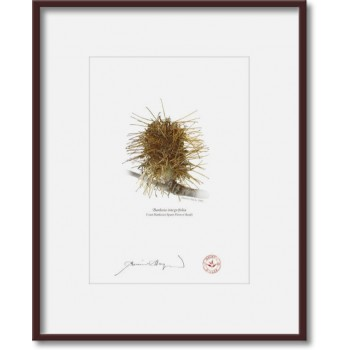 193 Spent Coast Banksia Flower (Banksia integrifolia) - 5″ × 7″ Print Ready to Frame With 8″ × 10″ Mat and Backing