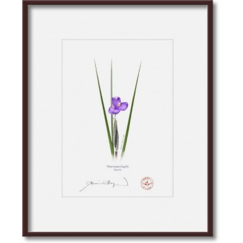 204 Day Iris (Patersonia fragilis) - 5″ × 7″ Print Ready to Frame With 8″ × 10″ Mat and Backing
