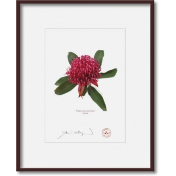 205 Waratah (Telopea speciosissima) - 5″×7″ Print Ready to Frame With 8″×10″ Mat and Backing