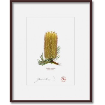 223 Hairpin Banksia (Banksia spinulosa) - 5″ × 7″ Print Ready to Frame With 8″ × 10″ Mat and Backing