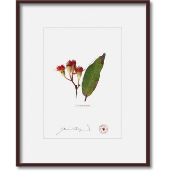 224 Corymbia ficifolia - 5″ × 7″ Print Ready to Frame With 8″ × 10″ Mat and Backing