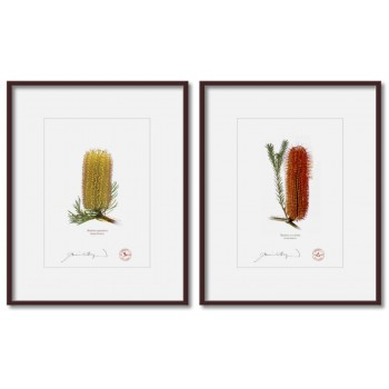 Banksia Flower Collection 3 Diptych - 5″ × 7″ Prints Ready to Frame With 8″ × 10″ Mats and Backing