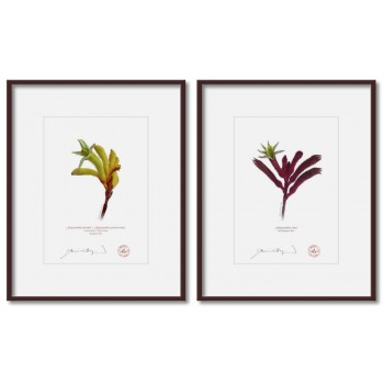Kangaroo Paw (Anigozanthos) Diptych - 5″ × 7″ Prints Ready to Frame With 8″ × 10″ Mats and Backing