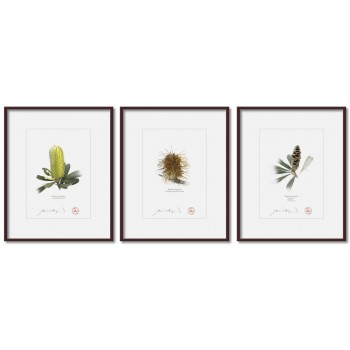 Life of a Banksia Flower Triptych - 5″ × 7″ Prints Ready to Frame With 8″ × 10″ Mats and Backing