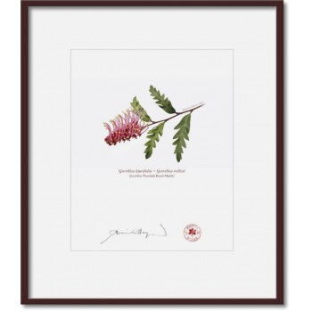 025 Grevillea 'Poorinda Royal Mantle' - 8″ × 10″ Print Ready to Frame With 12″ × 14″ Mat and Backing