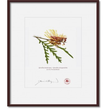 028 Grevillea 'Poorinda Blondie' - 8″×10″ Print Ready to Frame With 12″×14″ Mat and Backing