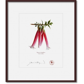 060 Native Fuchsia (Epacris longiflora) - 8″ × 10″ Print Ready to Frame With 12″ × 14″ Mat and Backing