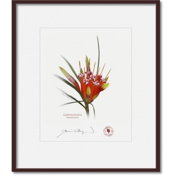095 Mountain Devil (Lambertia formosa) - 8″ × 10″ Print Ready to Frame With 12″ × 14″ Mat and Backing