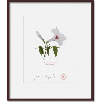 123 Pandorea jasminoides - 8″ × 10″ Print Ready to Frame With 12″ × 14″ Mat and Backing