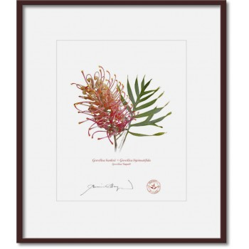 135 Grevillea 'Superb' - 8″×10″ Print Ready to Frame With 12″×14″ Mat and Backing