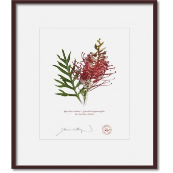 149 Grevillea 'Robyn Gordon' - 8″×10″ Print Ready to Frame With 12″×14″ Mat and Backing