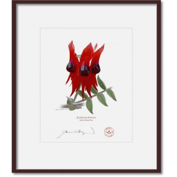 160 Sturt's Desert Pea (Swainsona formosa) - 8″ × 10″ Print Ready to Frame With 12″ × 14″ Mat and Backing