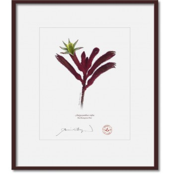 175 Red Kangaroo Paw (Anigozanthos rufus) - 8″ × 10″ Print Ready to Frame With 12″ × 14″ Mat and Backing