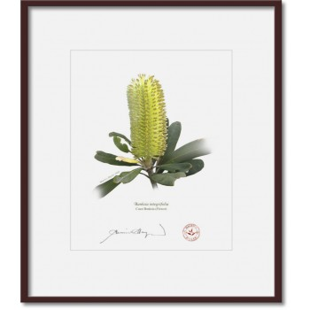 192 Coast Banksia Flower (Banksia integrifolia) - 8″ × 10″ Print Ready to Frame With 12″ × 14″ Mat and Backing
