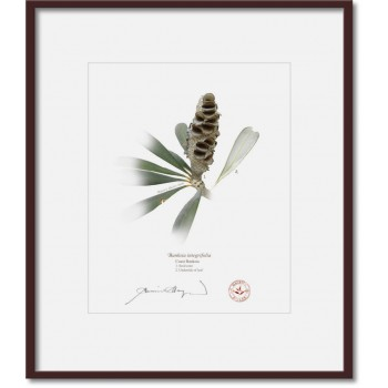 194 Coast Banksia Seed Cone and Leaf (Banksia integrifolia) - 8″×10″ Print Ready to Frame With 12″×14″ Mat and Backing