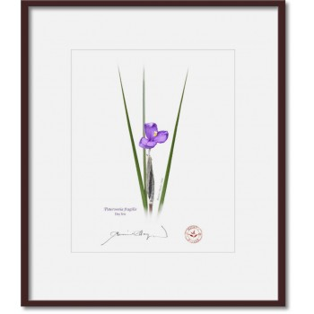 204 Day Iris (Patersonia fragilis) - 8″×10″ Print Ready to Frame With 12″×14″ Mat and Backing