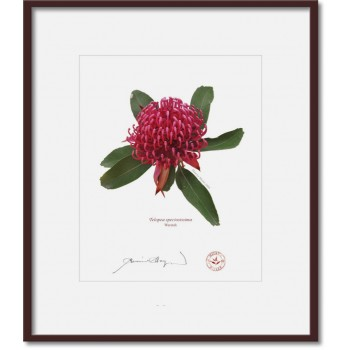 205 Waratah (Telopea speciosissima) - 8″×10″ Print Ready to Frame With 12″×14″ Mat and Backing