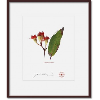 224 Corymbia ficifolia - 8″ × 10″ Print Ready to Frame With 12″ × 14″ Mat and Backing
