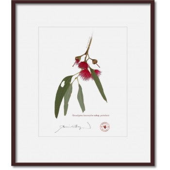 229 Eucalyptus leucoxylon subsp. petiolaris - 8″ × 10″ Print Ready to Frame With 12″ × 14″ Mat and Backing