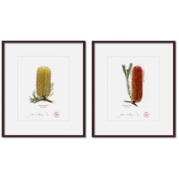 Banksia Flower Collection 3 Diptych - 8″ × 10″ Prints Ready to Frame With 12″ × 14″ Mats and Backing