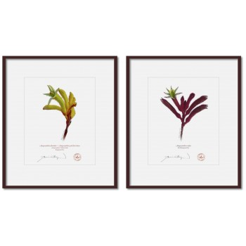 Kangaroo Paw (Anigozanthos) Diptych - 8″ × 10″ Prints Ready to Frame With 12″ × 14″ Mats and Backing