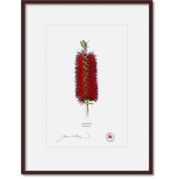 010 Bottlebrush (Callistemon) - A4 Print Ready to Frame With 12″ × 16″ Mat and Backing