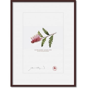 025 Grevillea 'Poorinda Royal Mantle' - A4 Print Ready to Frame With 12″ × 16″ Mat and Backing