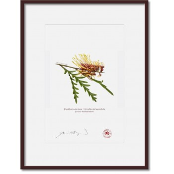 028 Grevillea 'Poorinda Blondie' - A4 Print Ready to Frame With 12″ × 16″ Mat and Backing