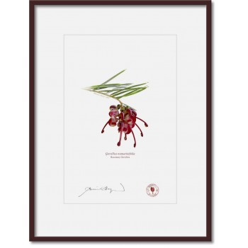041 Rosemary Grevillea (Grevillea rosmarinifolia) - A4 Print Ready to Frame With 12″ × 16″ Mat and Backing