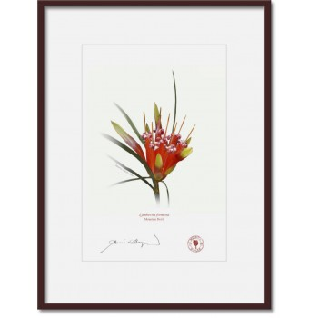 095 Mountain Devil (Lambertia formosa) - A4 Print Ready to Frame With 12″ × 16″ Mat and Backing
