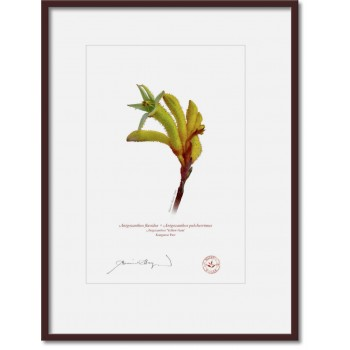 133 Kangaroo Paw (Anigozanthos 'Yellow Gem') - A4 Print Ready to Frame With 12″ × 16″ Mat and Backing