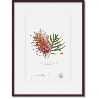 135 Grevillea 'Superb' - A4 Print Ready to Frame With 12″×16″ Mat and Backing