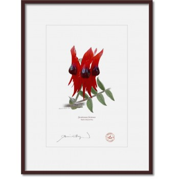160 Sturt's Desert Pea (Swainsona formosa) - A4 Print Ready to Frame With 12″ × 16″ Mat and Backing