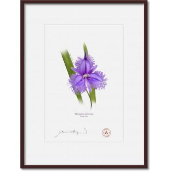 163 Fringe Lily (Thysanotus tuberosus) - A4 Print Ready to Frame With 12″×16″ Mat and Backing