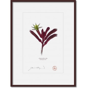 175 Red Kangaroo Paw (Anigozanthos rufus) - A4 Print Ready to Frame With 12″ × 16″ Mat and Backing