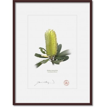 192 Coast Banksia Flower (Banksia integrifolia) - A4 Print Ready to Frame With 12″ × 16″ Mat and Backing