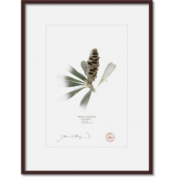 194 Coast Banksia Seed Cone and Leaf (Banksia integrifolia) - A4 Print Ready to Frame With 12″×16″ Mat and Backing