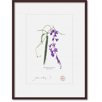 203 Hardenbergia violacea - A4 Print Ready to Frame With 12″×16″ Mat and Backing