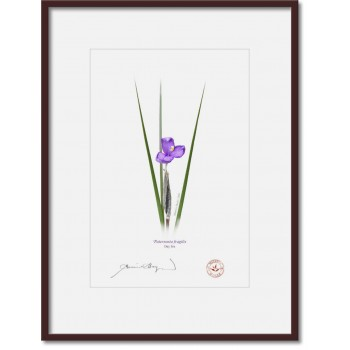 204 Day Iris (Patersonia fragilis) - A4 Print Ready to Frame With 12″ × 16″ Mat and Backing