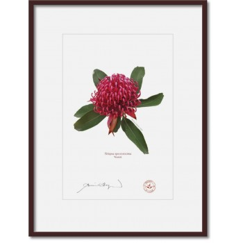 205 Waratah (Telopea speciosissima) - A4 Print Ready to Frame With 12″×16″ Mat and Backing
