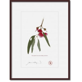 229 Eucalyptus leucoxylon subsp. petiolaris - A4 Print Ready to Frame With 12″ × 16″ Mat and Backing