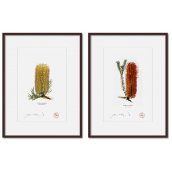 Banksia Flower Collection 3 Diptych - A4 Prints Ready to Frame With 12″ × 16″ Mats and Backing