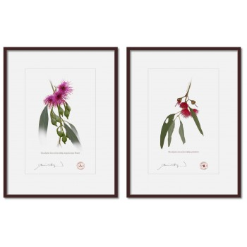 Eucalyptus leucoxylon subspecies Diptych - A4 Prints Ready to Frame With 12″ × 16″ Mats and Backing