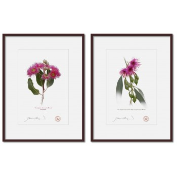 Eucalyptus 'Rosea' Cultivars Diptych - A4 Prints Ready to Frame With 12″ × 16″ Mats and Backing