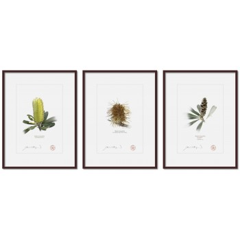 Life of a Banksia Flower Triptych - A4 Prints Ready to Frame With 12″ × 16″ Mats and Backing